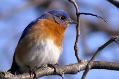 NEW YORK Eastern bluebird. Adopted 1970.Official Birds of Every State