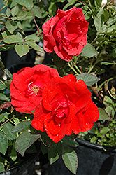 Click to view full-size photo of Morden Fireglow Rose (Rosa 'Morden Fireglow') at Salisbury Greenhouse and Landscaping