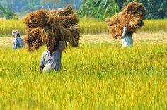 (pallab seth) Tags: autumn india field rural village rice paddy grain harvest culture bengal cultivation villagelife rurallife workingpeople ruralbengal ruralwestbengal  grambanglarchobi nabannautsav