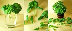 Basil - Put a few basil clippings with 4-inch stems in a glass of water and place it in a spot with direct sunlight. When the roots are about 2 inches long, you can plant them in pots to grow a full basil plant.