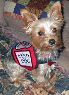 15 Best Tiny Service Dogs Images Service Dogs Animales Dog