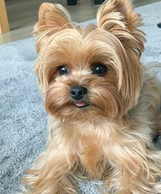 1386 Best Yorkies images in 2019 | Yorkshire terriers