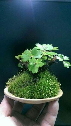 Bonsai Accent Plant 245
