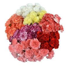 350 Fresh Flowers Carnation Wholesale Flowers