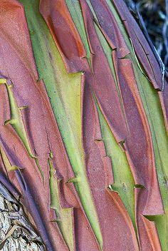 Pacific Madrone Tree Bark by wanderflechten - Richard Droker