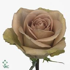Amnesia Roses are a unique vintage colour blend of beige, lilac & green & are usually available all year round. 50cm stem lengths this wholesale flower cut flower is wholesaled in 20 stem wraps.