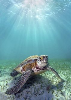 Turtle Underwater | Photo: Dave Fleetham - Printscapes with Pin-It-Button on #fineartamerica