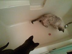 Indoor Cats? Entertain them with a cat toy ball in the bathtub...hours of fun!