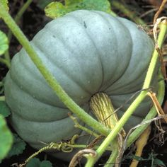 Jarrahdale pumpkin How to Grow Pumpkins Growing pumpkins and squash is simple. Use these tips to get your pumpkin patch started.
