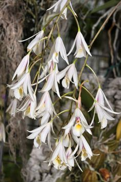 https://flic.kr/p/dZ9Q7W | Cattleyopsis cubensis | Grown by The Orchid Trail, John Stanton
