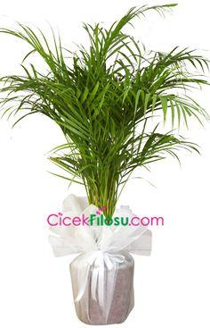 Areka Çiçeği Bakımı, Yetiştirilmesi, budanması, sulanması, toprak, vitamin, ışık, ve rüzgar faktörlerine karşı direnci.