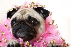 Pug wedding dog pink flower crown tutu Toni Kami ❀Flowers in their coats❀