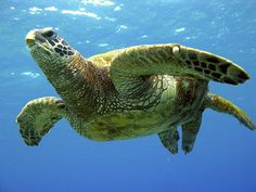 This honu – or green sea turtle – is absolutely majestic. Sea Turtle Wallpaper, World Turtle, Hawaiian Sea Turtle, Kona Hawaii, Turtle Love, Marine Aquarium, Wild Creatures, Manatee, Tortoises