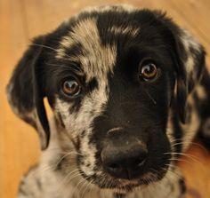 PUPPY Labrador Australian Shepherd, Gatsby #pup #puppy #dog #cute #babydog #bigeyes #gatsby