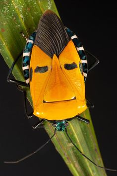 Pentomid bug. (Photo by Darlyne Murawsk/National Geographic Creative/Caters News)