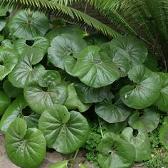 This evergreen foliage plant has large, rounded, leathery leaves and daisy-like yellow flowers. Big Leaf Plants, Full Shade Plants, Shade Garden Plants, Foliage Plants, Flowering Plants, Leopard Plant, Plant Zones, Fine Gardening, Big Leaves
