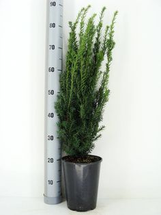 Taxus media 'Hillii' in pot (60-80cm)