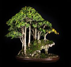 An amazing Bonsai forest!