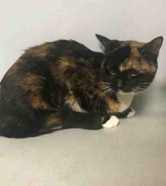 RAZZI - A1115572 - - Brooklyn  ***TO BE DESTROYED 06/20/17***   BEAUTIFUL RAZZI WAS A GIFT TO HER OWNER AND LOST HER HOME DUE TO ALLERGIES.  Now that she is in the shelter, she is a frightened little girl.  Please turn this nightmare around for RAZZI and welcome her into your home.  MUST BE RESERVED BY NOON!! -  Click for info & Current Status: http://nyccats.urgentpodr.org/razzi-a1115572/