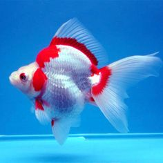 Ryukin is a hardy and attractive variety of goldfish with a pointed head and has a pronounced hump on the back behind the head.