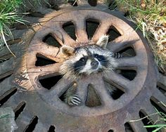This baby raccoon somehow ended up stuck in a sewer grate in suburban Detroit. City workers freed the animal and released it into the woods. Aww it looks almost cute :). Funny Animal Fails, Funny Animals, Cute Animals, Wild Animals, Animal Funnies, Happy Animals, Farm Animals, Baby Raccoon, Racoon