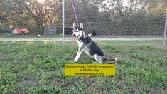 For #adoption in #Florida only:  #Siberian #Husky CHLOE.  Apply to adopt here:  http://www.siberrescue.com/