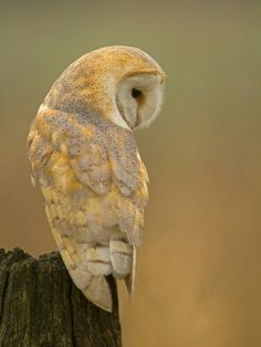 Gorgeous Barn Owl