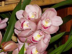 Орхидея цимбидиум подкормка