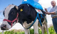 cow farts captured and harvested for methane... I kid you not!