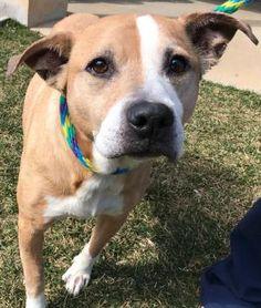 ***TO BE DESTROYED 05/08/17*** JAZZ - Adult - Boxer - ACIMP-2017-01084 - FOR MORE PICS, VIDEOS & INFO: http://www.dogsindanger.com/dog/1488662431496