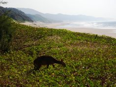 Cape Vidal Beach with a Bushbuck in the foreground. Cape Vidal is a nature lovers paradise with endless beaches, tame wildlife and fantastic snorkeling in the bay. Cape Vidal is situated 35km from St Lucia and is one of popular day trip destinations. If you are looking for things to do in St Lucia, this is a must!