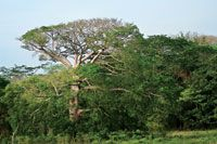 A pesar del alto grado de intervención de los bosques aún se aprecian ceibas majestuosas. Luruaco, departamento de Atlántico.