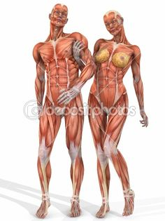 Female and Male Anatomic Body - Couple by Digitalstudio - Stock Photo