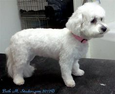 bichon lamb cut | After with Breed Style