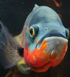 Cichlid Aquarium, Cichlid Fish, Oscar Fish, Underwater Animals, Cool Fish, Tropical Aquarium, Freshwater Aquarium Fish, Pet Fish, Life Aquatic