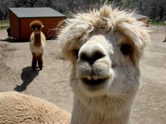 Adorable smiling alpaca.