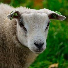 Close-up of sheep.