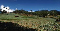 Cultivos de repollos y fresas en Rio Chiquito, San Ignacio #Chalatenango #ElSalvador | suchitoto.tours@gmail.com