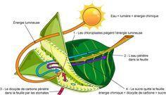 Photosynthèse et respiration dans le cycle des nutriments