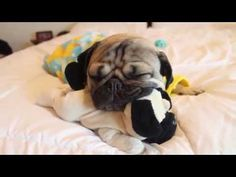 Bedtime For Doug The Pug — Cute Overload I don't normally think dressing dogs up is cute....but I'll make an exception on this one.
