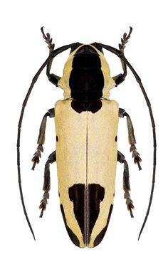 Tragocephala mniszechi  –  CERAMBYCIDAE; LAMIINAE