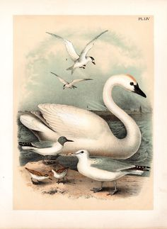1888 Antique Trumpeter Swan Bird Print by AntiquarianPrints, $35.00