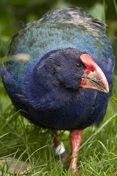 Takahē, Porphyrio hochstetteri, is a flightless bird indigenous to New Zealand & belonging to the rail family