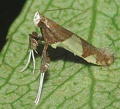 weird bugs | Strange Insect - Caloptilia bimaculatella - BugGuide.Net