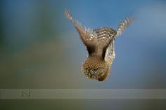 500px上のノーマン·ンの写真ダイビングフクロウ(北部ピグミーフクロウ)