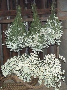 450 per bunch pictured is a bunch dried flower babys breath feverfew matricaria chrysanthemum parthenium feverfew has a small off white double button mightylinksfo