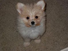 Maltese Pomeranian Mix Puppies For Zoe Fans Blog