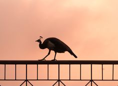 This morning, when I got up, I came out to greet rising Sun, I saw these two peahens blocking sunshine, It was a true delight to see them in the morning. Rising Sun, Dawn, Sunrise, Box, Pictures, Photos, Snare Drum, Sunrises, Grimm