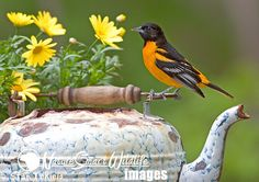 Baltimore Oriole on tea pot master