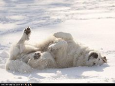 Great Pyrenees. Such big, happy dogs! polar bear dogs!
